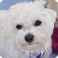 Adopt A Pet :: Remi - La Costa, CA