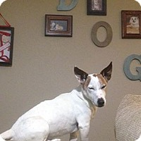 Adopt A Pet :: Jack The Wonder Dog! - Loveland, CO