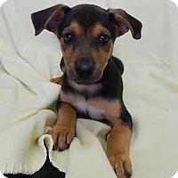 Adopt A Pet :: Wizzer (POM-EC) - Brattleboro, VT