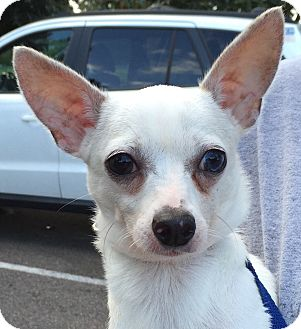 Chihuahua Dog for adoption in Orlando, Florida - Reed