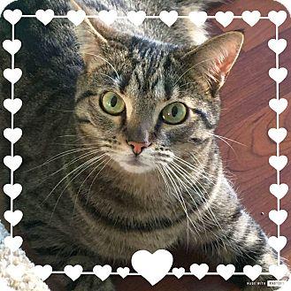 Domestic Shorthair Cat for adoption in Columbus, Ohio - ElleBelle
