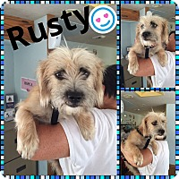 Terrier (Unknown Type, Small) Mix Dog for adoption in Brownsville, Texas - Rusty