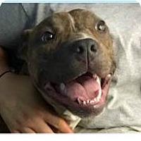 Adopt A Pet :: Bravo - Springdale, AR