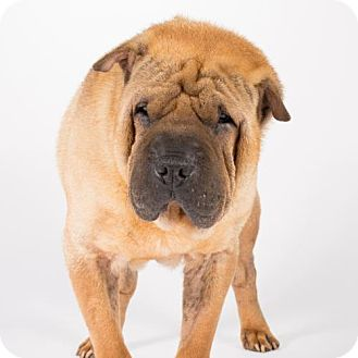 Shar Pei Dog for adoption in St. Louis Park, Minnesota - Ezra
