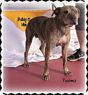 American Pit Bull Terrier/Labrador Retriever Mix Dog for adoption in Eden, North Carolina - Thelma