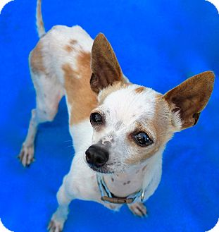 Chihuahua Dog for adoption in Irvine, California - Tuck