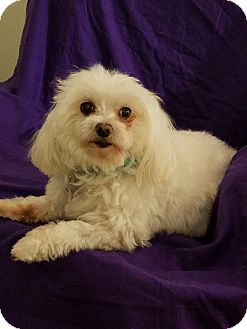 Maltese Dog for adoption in Covina, California - MICKEY