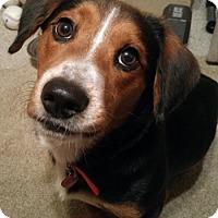 Adopt A Pet :: Roy II - Tampa, FL