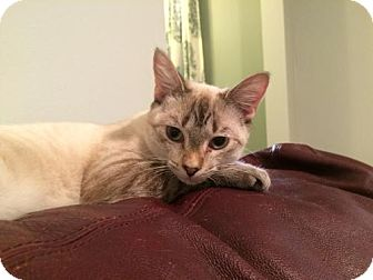 Siamese Cat for adoption in Washington, D.C. - Tyrion