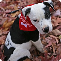 Terrier (Unknown Type, Medium)/Pointer Mix Puppy for adoption in Albany, New York - Patchy