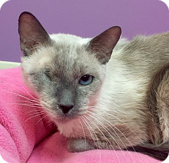 Siamese Cat for adoption in Addison, Illinois - Buddy