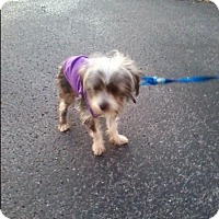 Adopt A Pet :: Skye - Allentown, PA