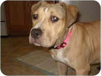 Gabby | Adopted Puppy | Callahan, FL | Bullmastiff ...