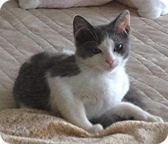 Domestic Shorthair Kitten for adoption in Deerfield Beach, Florida - Mizner Marie