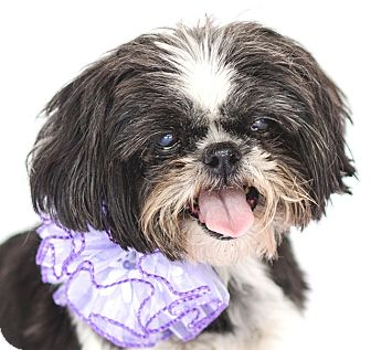 Shih Tzu Dog for adoption in Orlando, Florida - Sweet Pea
