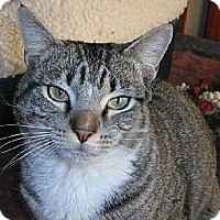 Adopt A Pet :: George- INDOOR/OUTDOOR - Herndon, VA