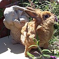 Adopt A Pet :: Cinnamon - Santee, CA