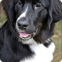 Adopt A Pet :: Baby Belle - Higley, AZ
