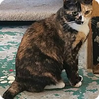 American Shorthair Cat for adoption in Los Angeles, California - Rose