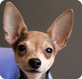 Chihuahua Dog for adoption in Georgetown, Colorado - Lou