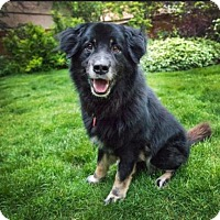 Adopt A Pet :: Dozer - Boulder, CO