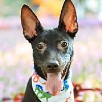 Mountain Cur Puppy for adoption in San Francisco, California - Marti