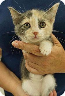 Domestic Shorthair Kitten for adoption in Wauconda, Illinois - Elara