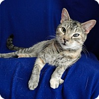 Domestic Shorthair Cat for adoption in Jackson, New Jersey - Flora