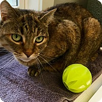 Adopt A Pet :: Stella - Ossipee, NH