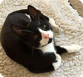 Domestic Shorthair Kitten for adoption in Novato, California - Finn