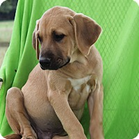 Mastiff/Labrador Retriever Mix Puppy for adoption in Albany, New York - Ladd (has been adopted)