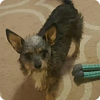 Yorkie, Yorkshire Terrier/Chihuahua Mix Dog for adoption in Summerville, South Carolina - Isabelle