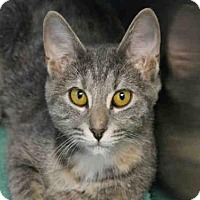 Domestic Mediumhair Cat for adoption in Decatur, Illinois - MARGARITA