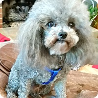 Toy Poodle Dog for adoption in West Linn, Oregon - Ozzie
