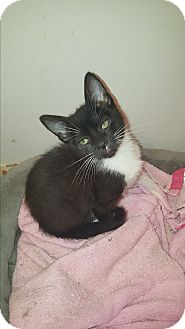 Domestic Shorthair Kitten for adoption in Tumwater, Washington - Lavern