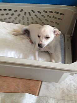 Chihuahua Puppy for adoption in Shannon, Georgia - Taffy