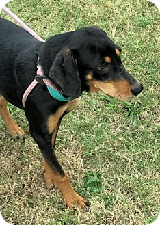 Black and Tan Coonhound Mix Puppy for adoption in Dallas, Texas - Rolls