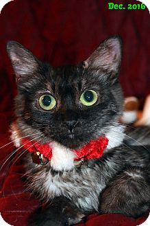 Domestic Longhair Cat for adoption in Encino, California - Belle