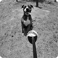 American Staffordshire Terrier/Boxer Mix Dog for adoption in Los Olivos, California - Soxie