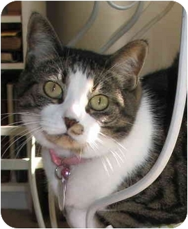 Domestic Shorthair Cat for adoption in Cincinnati, Ohio - Katie