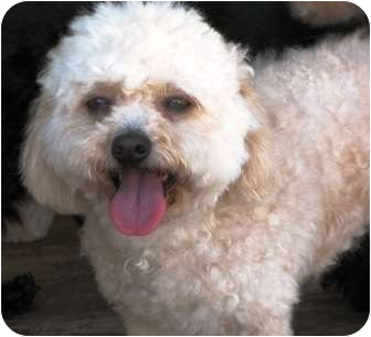 Poodle (Standard) Dog for adoption in Winnetka, California - BRIANNA