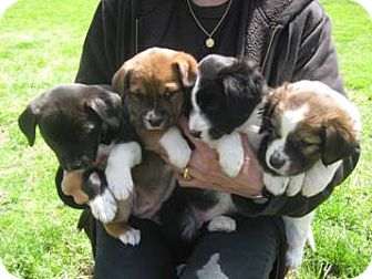 Border Collie/Rat Terrier Mix Puppy for adoption in McArthur, Ohio - PUPPIES !!!