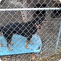 Adopt A Pet :: Jessie - latrobe, PA