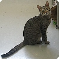 Domestic Mediumhair Kitten for adoption in Manning, South Carolina - Web
