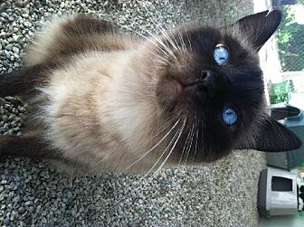 Siamese Cat for adoption in Sherman Oaks, California - Sky