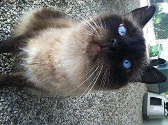 Siamese Cat for adoption in Sherman Oaks, California - Sky
