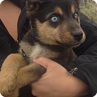 Adopt A Pet :: Frankie - Saskatoon, SK