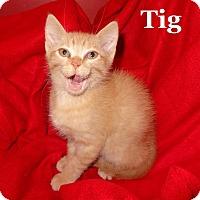 Adopt A Pet :: Tig - Bentonville, AR