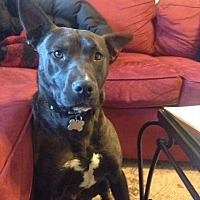 Pit Bull Terrier Dog for adoption in Rossville, Tennessee - Meja