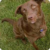 Adopt A Pet :: Charley Brown - Mt. Prospect, IL